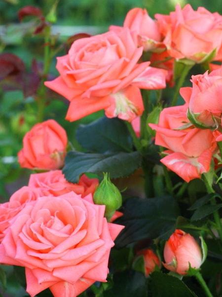 роза спрей Барбадос (фото и описание сорта)
