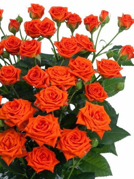 Оранж Бейб спрей-роза (фото и описание сорта)