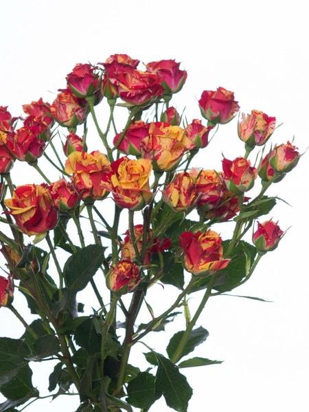 роза спрей Фаер Флеш (фото и описание сорта)