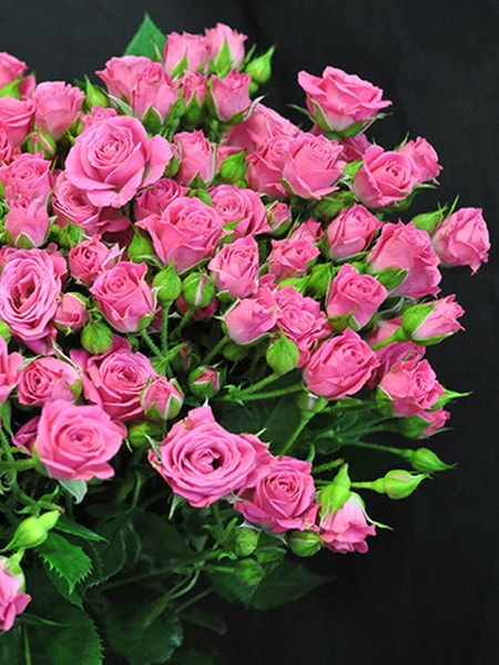 роза спрей Лавли Лидия (фото и описание сорта)