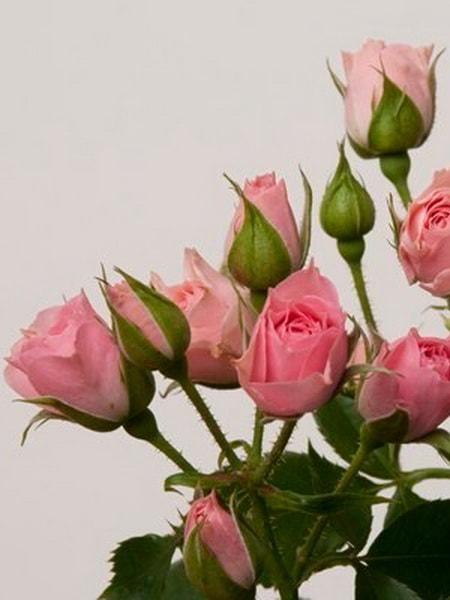 роза спрей Лидия (фото и описание сорта)