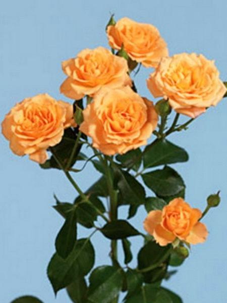 роза спрей Макарена (фото и описание сотра)