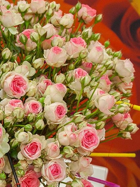 роза спрей Мими Эден (фото и описание сорта)