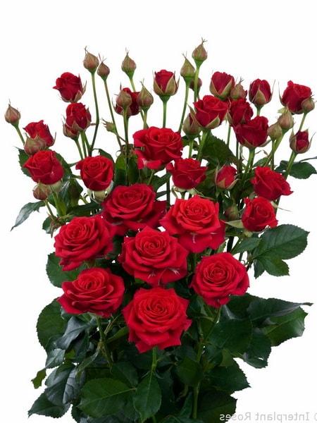 роза спрей Мирабель (фото и описание сорта)