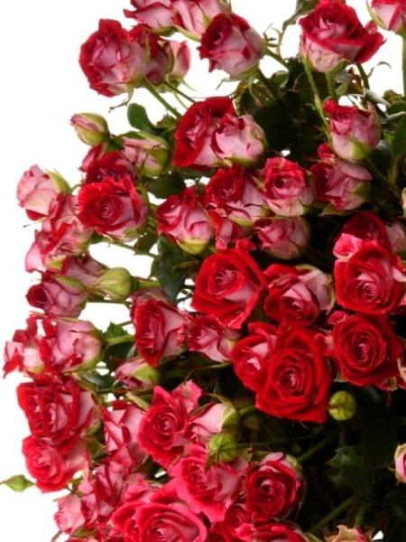 спрей роза Руби Стар (описание, фото сорта)