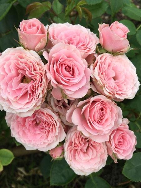 спрей роза Сисси Микадо (описание, фото сорта)