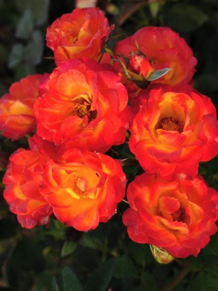 роза спрей Тайфун (фото и описание сорта)