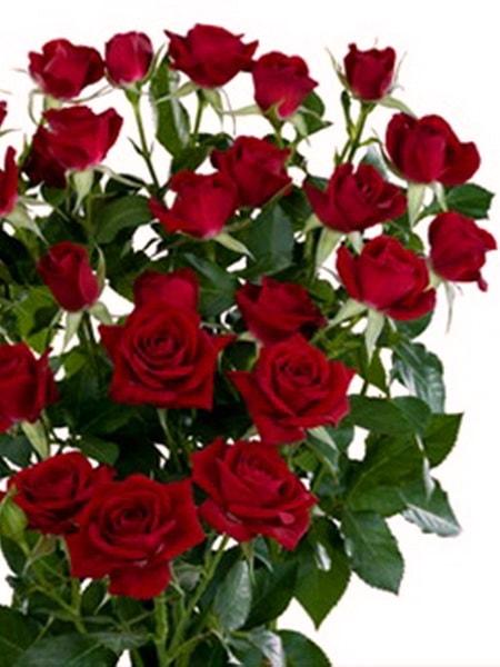 роза спрей Таманго (описание и фото сорта)