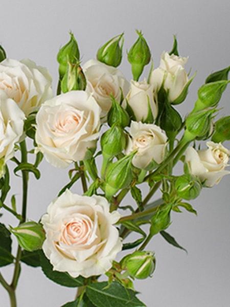 Уайт Микадо роза спрей