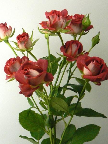 роза спрей Тирамису