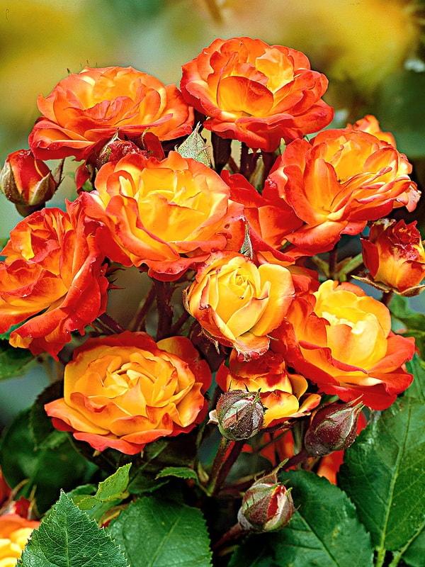 Роза нежно-розовая Грация спрей - купить с доставкой по Екатеринбургу и России