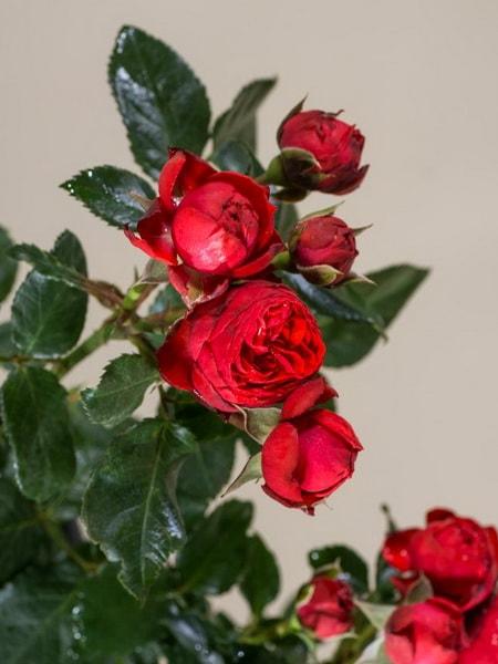 спрей роза Хот Рококо (описание, фото)
