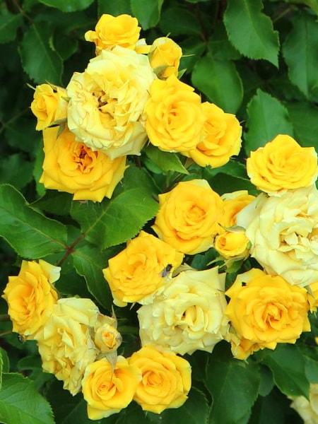 роза спрей Еллоу Эвелин (описание, фото)
