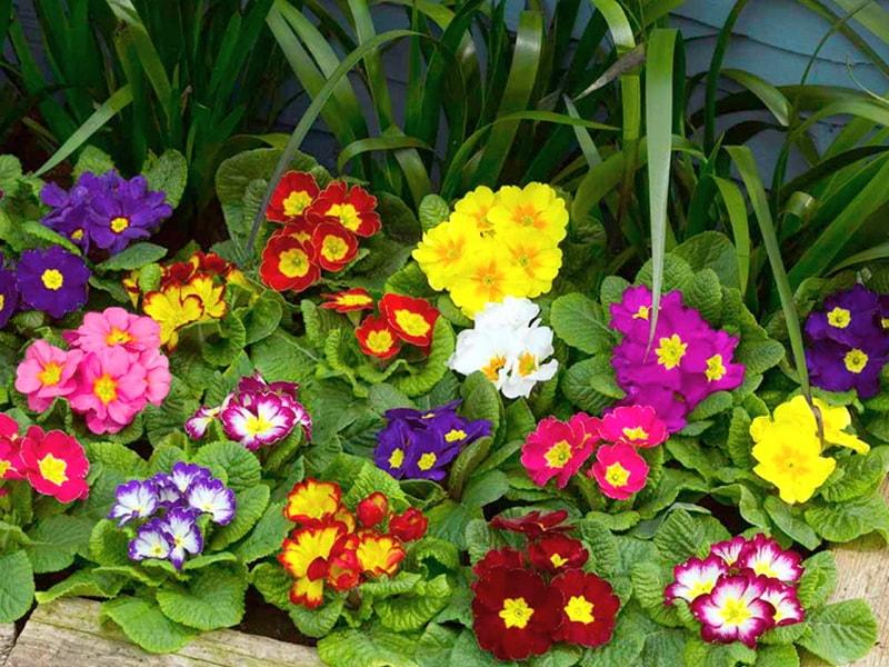 виды примулы садовой с фото и описанием
