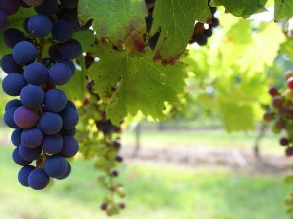 виноградник на даче