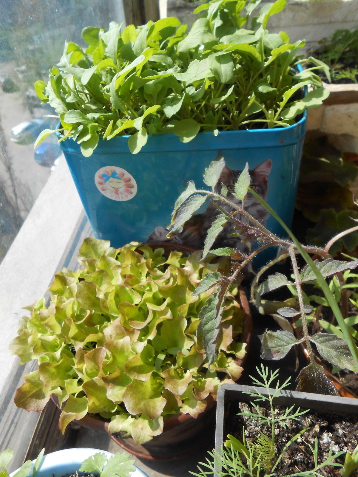 Выращивание салата на подоконнике в домашних условиях с фото посевов