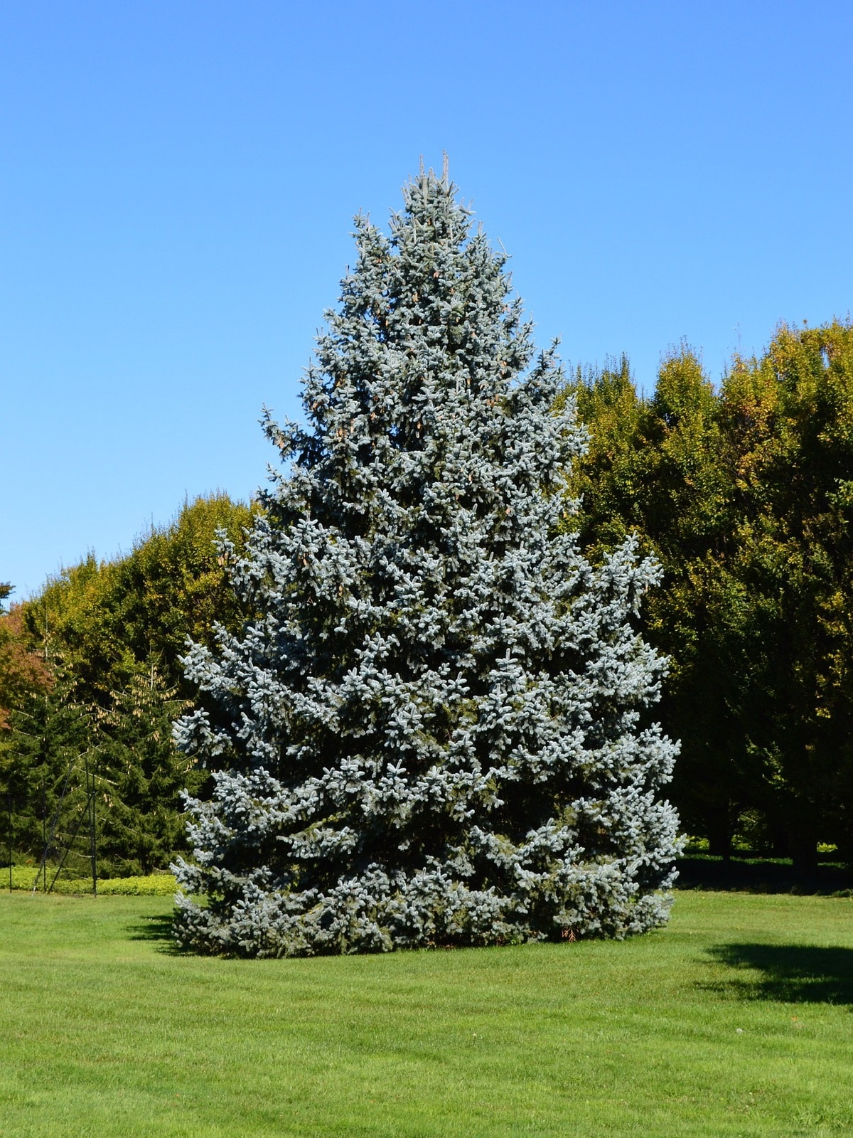 Как прорастить голубую ель из семян