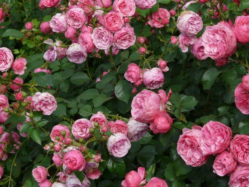 Чайный гибрид Афродита- что это за сорт роз, выращивание на приусадебном участке