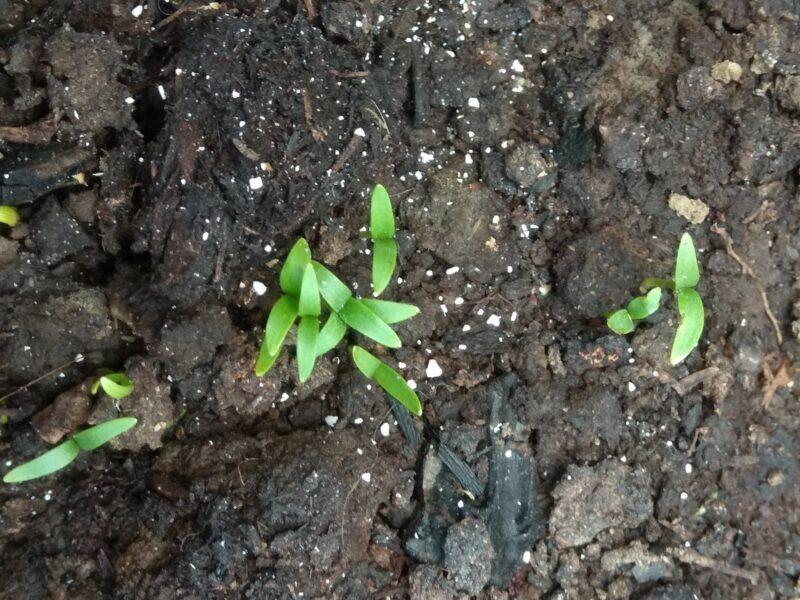 por que o endro cresceu mal no jardim