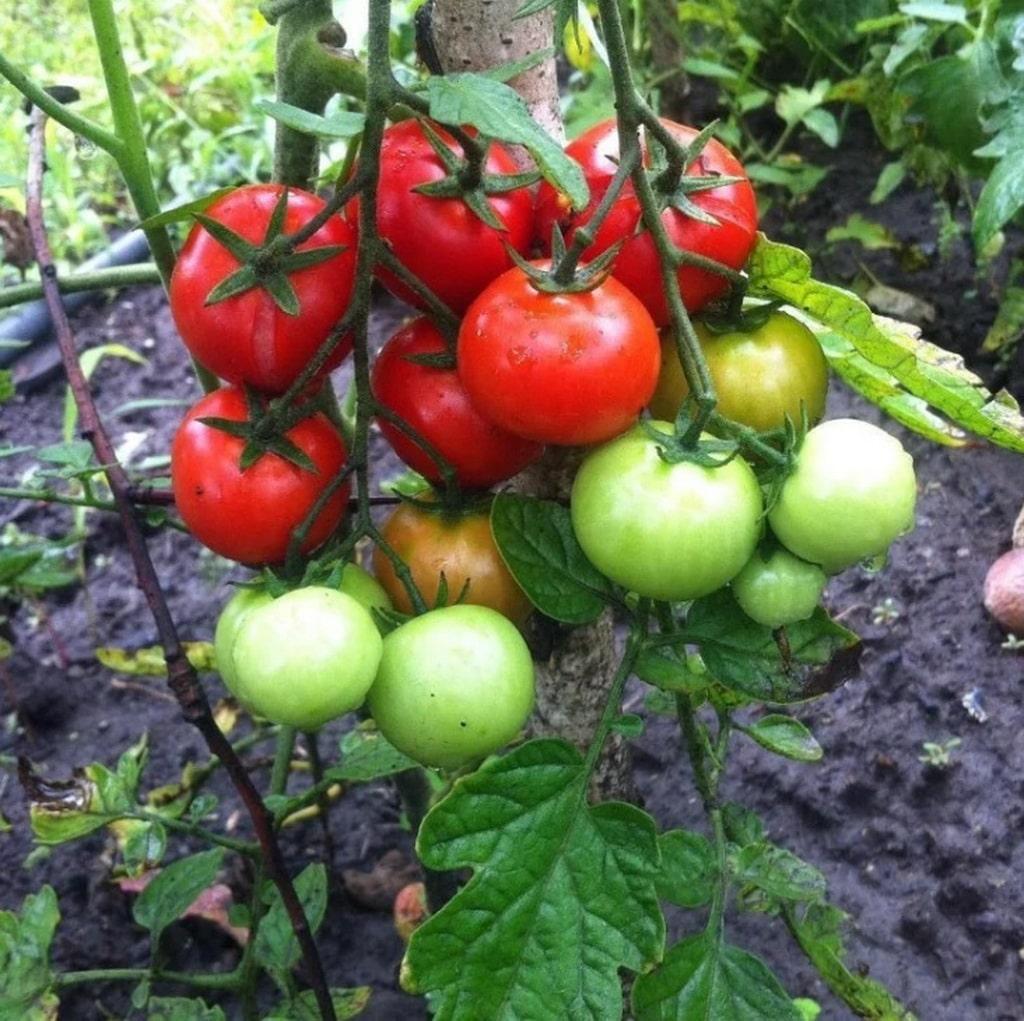 tomates em agosto são suscetíveis a doenças