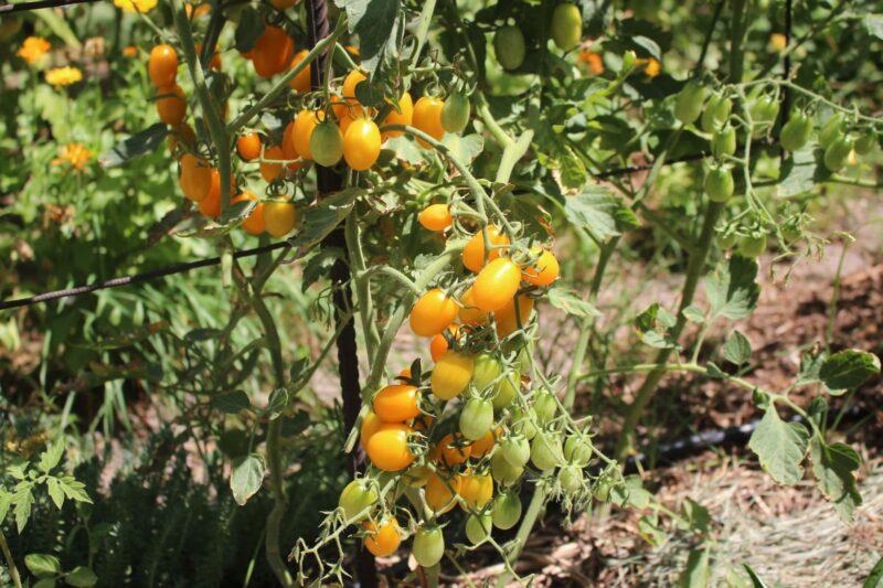 tomates em agosto